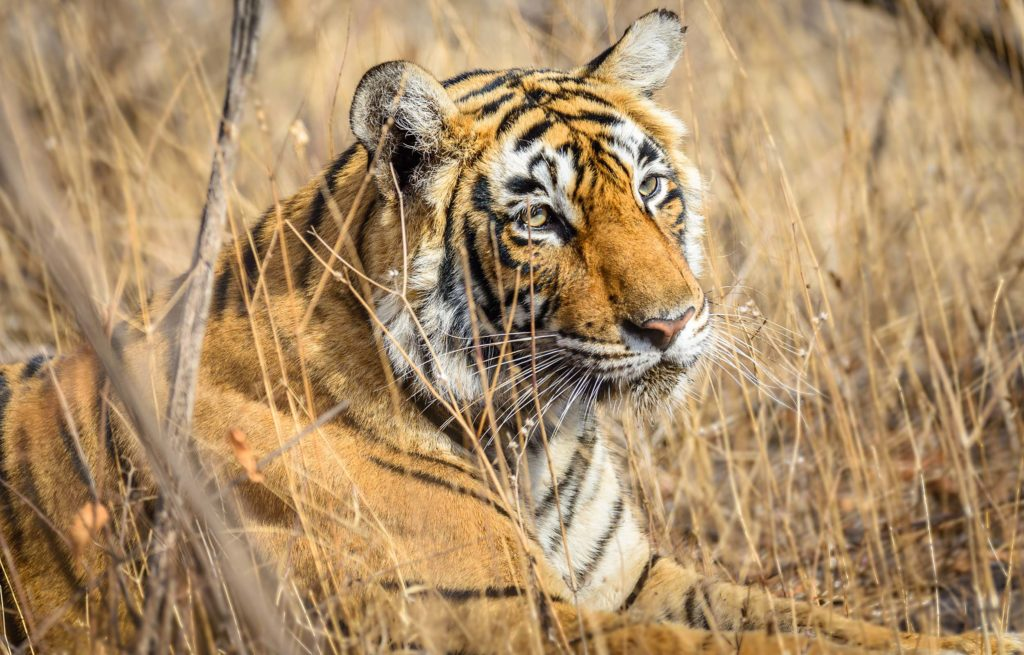 Voyage train Inde - Ranthambore National Park - Tigre du Bengal