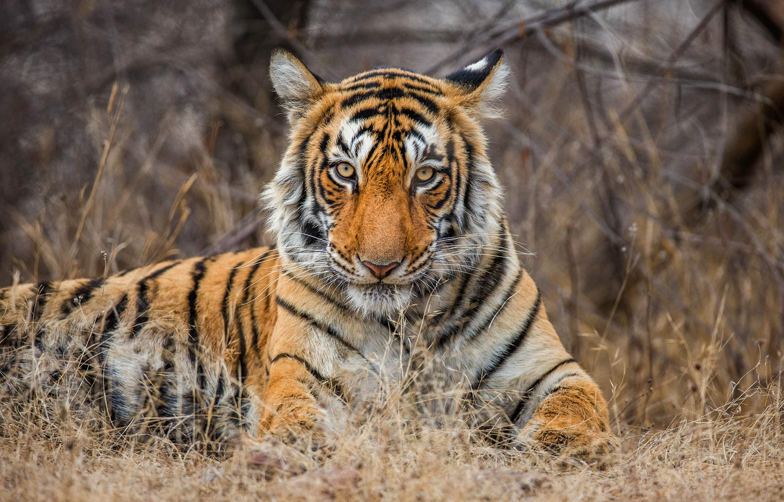 Voyage train Inde - tigre - Parc National Ranthambore